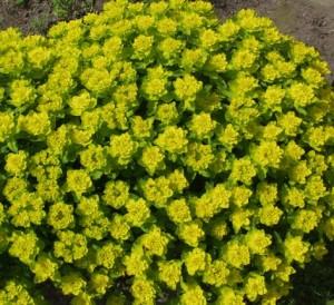 Euphorbia polychroma (Kuva: ©Anja Weckman / Suomalainen taimi)