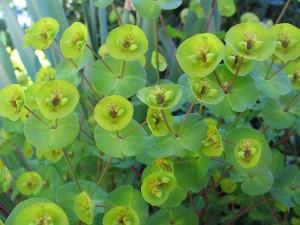 Euphorbia amygdaloides (Kuva: Wikimedia Commons)