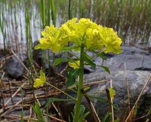 Euphorbia palustris  (Kuva: ©Jouko Lehmuskallio / Luontoportti)