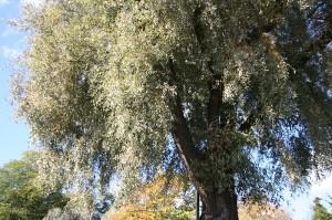 Salix alba var. sericea 'Sibirca' Kuva: Wikimedia Commons