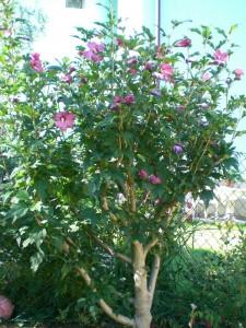 Hibiscus_2_blog