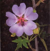 Lavateria acerifolia – endeeminen kasvi Kanariansaarilla  (kuva:  canaryislandsflora.com)