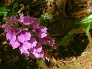 Madeiran orkidea (Dactylorhiza foliosa) – endeeminen kasvi Madeiralla  (kuva: madeirahelp.com)