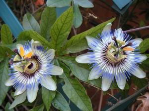 Passiflora_blog