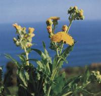 Sonchus radicatus – endeeminen kasvi Teneriffalla  (kuva: canaryislandsflora.com)
