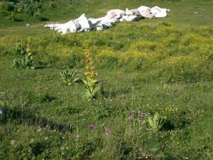 Vuorenrinteen kukkaloistoa