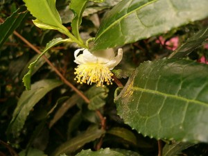 Camellia sinensis (kuva: Wikimedia Commons)