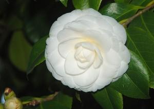 Camellia japonica (kuva: Wikimedia Commons)