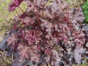 Heuchera michranta 'Palace Purple' - purppurakeijunkukka (kuva: Wikimedia Commons)