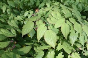 Epimedium alpinum - alppivarjohiippa (kuva: Wikimedia Commons)