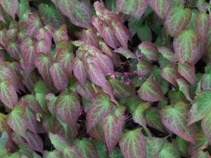 Epimedium grandiflorum - idänvarjohiippa (kuva: Wikimedia Commons)