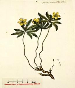 Anemone ranunculoides - keltavuokko  (kuva: Flora Danica)