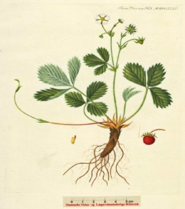 Fragaria vesca - ahomansikka  (kuva: Flora Danica)