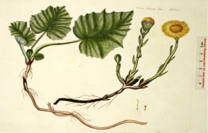 Tussilago farfara - leskenlehti (kuva: Flora Danica)
