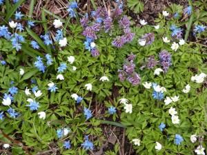 Vattupensaan aluskasvillisuutta viime keväänä (valkovuokkoja, skilloja ja pystykiurunkannuksia)